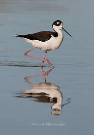 Shorebirds and Seabirds photos