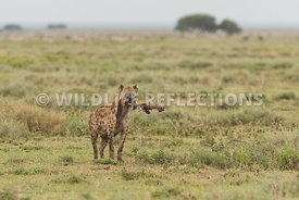 hyena_baby_wildebeest_kill_02162015-6
