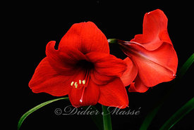 Duo d'amaryllis 2 Ennery Val d'Oise 06/12