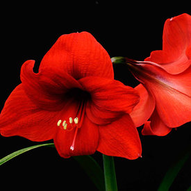Amaryllis photos