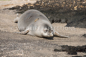 hawaiian_monk_seal_big_island_02062015-82