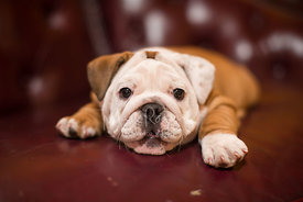 Close-up of Tan and White Bulldog Puppy Lying on Red Leather Couch