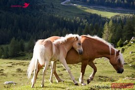 Two wild horses in a mountain valley