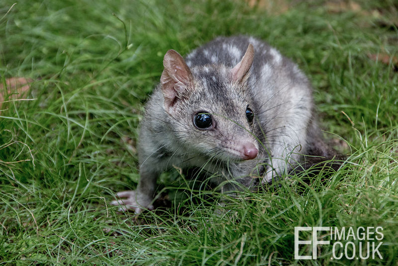 Baby Quoll