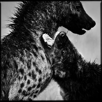 9050-Two_hyenas_Kenya_2006_Laurent_Baheux