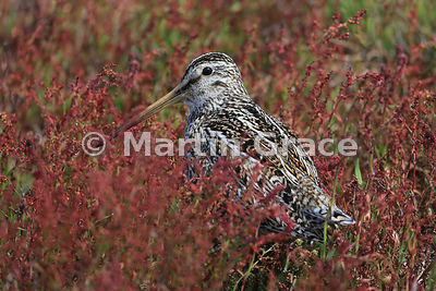 Magellanic (or South American) Snipe (Gallinago paraguaiae magellanica) standing in Sheep's Sorrel (Rumex acetosella), Sea Lion Island, Falkland Islands