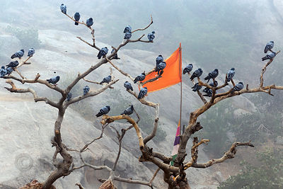 Pigeons congregate in an old fig tree snag at the Ajaypal Shiva Temple, near Pushkar, Rajasthan, India
