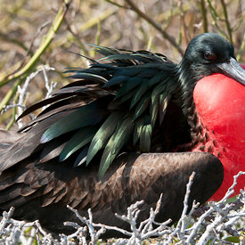Magnificent Frigatebird wildlife photos