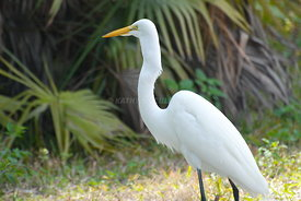 White Egret swallowing a lizard