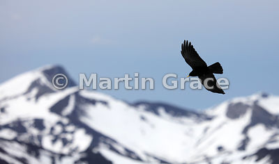 Alpine or Yellow-Billed Chough (Pyrrhocorax graculus), Picos de Europa, Cantabria, Spain