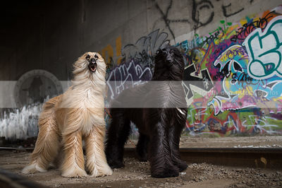 two beautiful longhaired dogs standing in urban graffiti train tunnel
