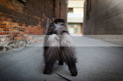 fluffy hairy black chow dog butt from behind in urban brick alley