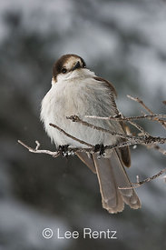 Gray Jay (Perisoreus canadensis) perched on a branch during a snowstorm on Hurricane Ridge, Olympic National Park, Olympic Peninsula, Washington, USA, March, 2009_WA_8106