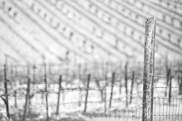 OLD WIRE FENCE AND A VINEYARD NAPA VALLEY BLACK AND WHITE