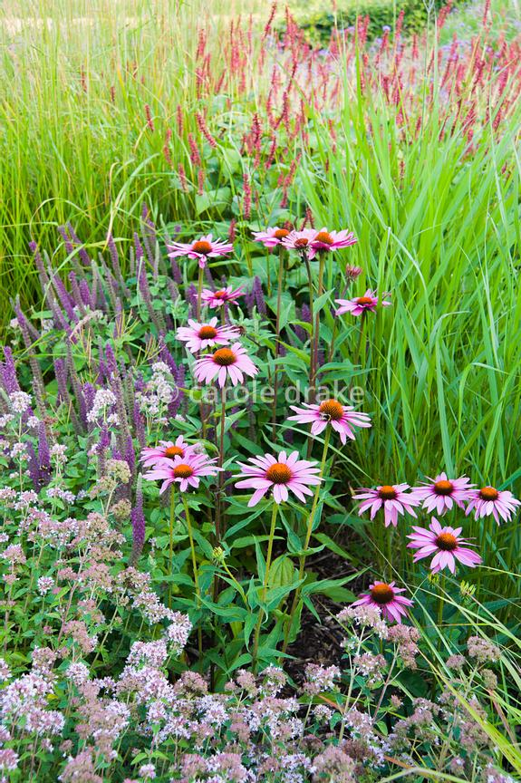 Carole drake the barn garden is a mix of grasses and late the barn garden is a mix of grasses and late flowering perennials including echinaceas and teucrium mightylinksfo