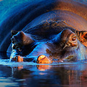 Hippopotamus  at sunset