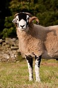 Swaledale rams grazing in fields. Cumbria.