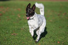 Happy Black and White Spotted Dog Running on Grass