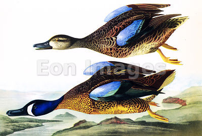 Audubon print Blue-winged Teal