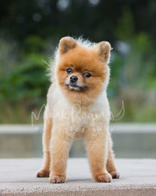 Standing Pomeranian Dog with Curious Expression
