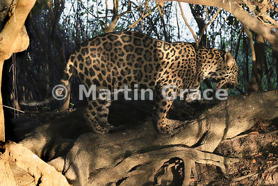 Male Jaguar (Panthera onca) known as Marley stops to sniff where perhaps another Jaguar has scent-marked by spraying urine, River Cuiabá, Northern Pantanal, Mato Grosso, Brazil