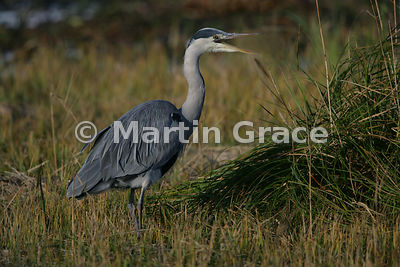 Grey Heron (Ardea cinerea) vocalising, Leighton Moss (RSPB), Carnforth, Lancashire, United Kingdom