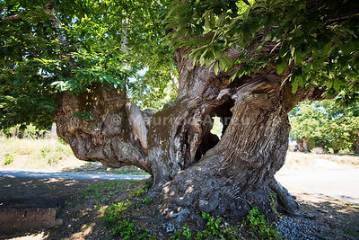 A thousand years old chestnut tree classified as Public Protected. It's perimeter is 12,8 meters. Lagarelhos, Trás-os-Montes. Montesinho Nature Park, Portugal