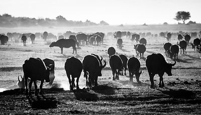 4976-Herd_of_buffalos_Laurent_Baheux