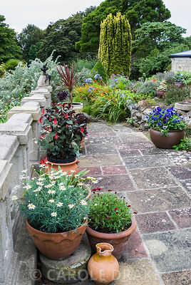 Terrace balustrade lined with pots containing succulents, Argyranthemums, fuchsias and cordylines. The Shute, nr Ventnor, Isle of Wight, UK