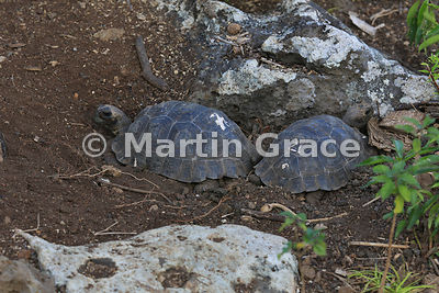Young San Cristobal Giant Tortoises (Geochelone elephantopus chatamensis) at the Galapaguena de Cerro Colorado breeding station, San Cristobal