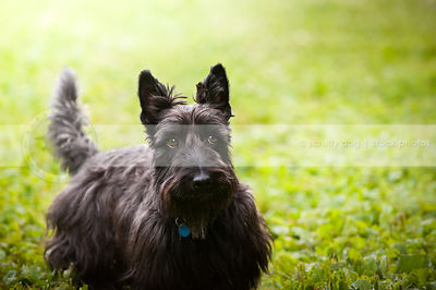 expressive black scottie dog looking sideways in park with bokeh background
