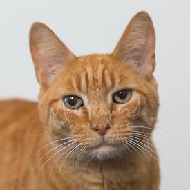 Orange Tabby Cat with Green Eyes Against White Background