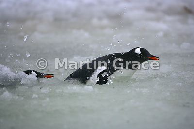 Gentoo Penguins (Pygoscelis papua) bathing in meltwater slush pool, Petermann Island, Antarctic Peninsula