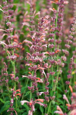 Agastache 'Tangerine Dreams', AGM. Helmsley Walled Garden, Helmsley, York, North Yorkshire, UK