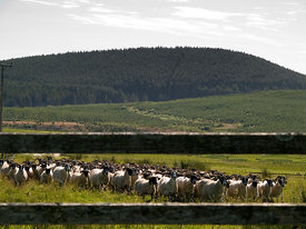 Droving a flock of sheep.