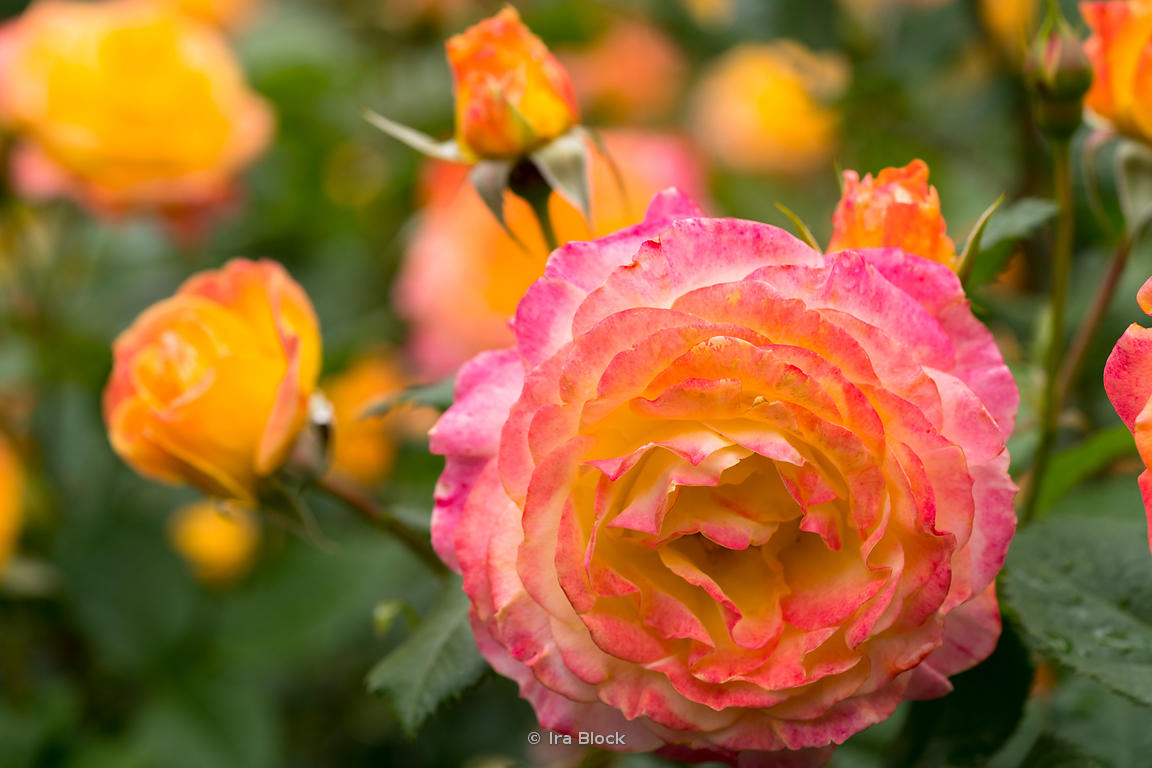 A rose in full blossom at New York Botanical Garden in New York City.