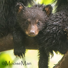 Black Bears photos