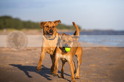 two sibling red dogs playing together with ball on lake shore beach