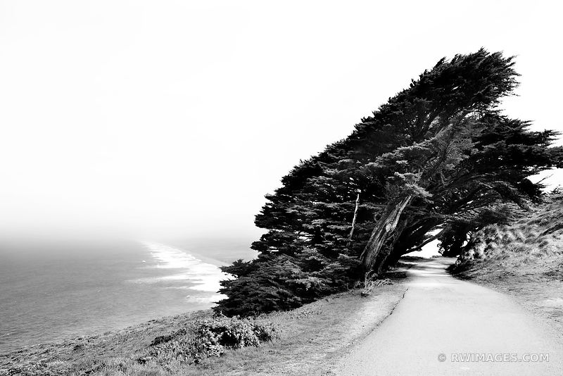 WINDSWEPT CYPRESS TREES NEAR POINT REYES NATIONAL SEASHORE LIGHTHOUSE BLACK AND WHITE