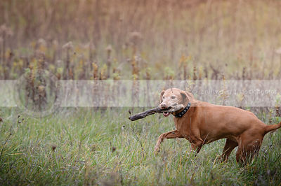 senior red gundog carrying fetching stick  in field of grasses