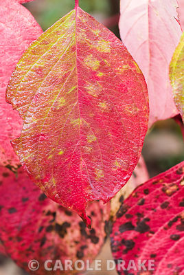 Mottled autumn leaves of Cornus alba 'Sibirica'. Lady Farm, Chelwood, Somerset, UK