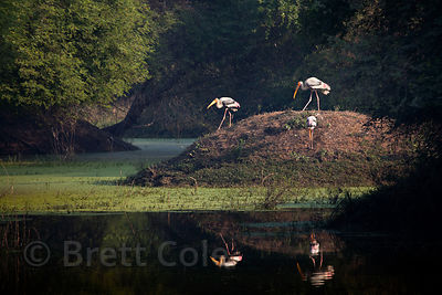 Painted storks (Mycteria leucocephala), Keoladeo National Park, Bharatpur, India