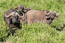 cape_buffalo_bulls_greenery_1