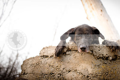 scared black labrador retriever perched on a wall