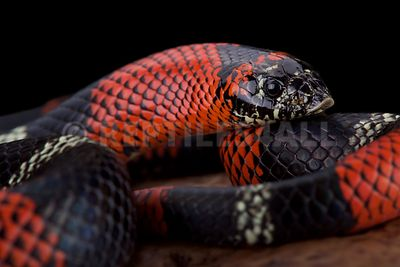 Tri-color hognose snake (Lystrophis pulcher) photos