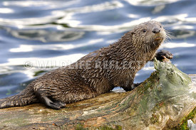River Otter Pup Paw Resting