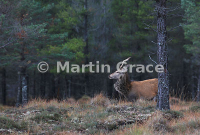 Red Deer stag (Cervus elaphus) in the edge of woodland, Badenoch & Strathspey, Scottish Highlands
