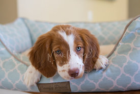 Brittany spaniel puppy in dog bed