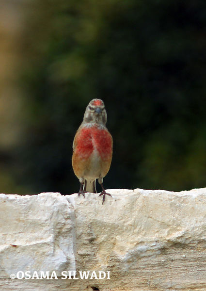 The Birds of Palestine -  Common Linnet