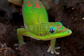 Phelsuma laticauda, Gold dust day gecko, Madagascar
